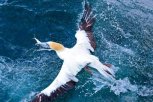 Gannet Colony New Zealand Muriwai Best Nature Tours Auckland Day Trips Private Tour Guide Auckland Small Groups Self-Drive Eco Luxury Golf Touroperator Incoming Travel Agency Tourism Award Newzealand