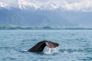 Whale Watching Kaikoura New Zealand Nature Tours self drive holiday travel new zealand tour operator ageny tour guides auckland round trip book tours specialist