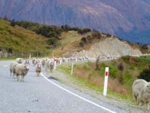 Sheep New Zealand self drive tour sheep shearing experience nature tours inbound operator incoming agency destination management holiday booking honeymoon experience private luxury newzealand excursion bespoke day trips