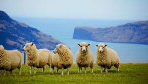 Sheep new zealand whool nature tours sheep shearing farm experience tour self drive holiday journey best newzealand tour packages