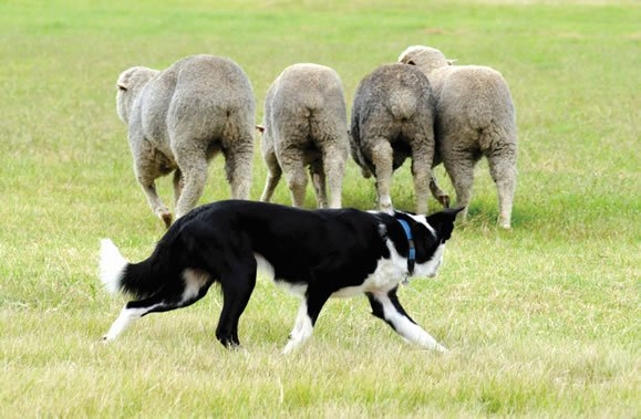 Auckland Day Trip Sheep Shearing live Show New Zealand Sheep Farm Private Tour Guide Best Day Trips Sightseeing Auckland sheep dog new zealand