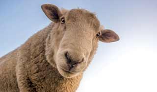 new zealand sheep shearing sheep farm auckland day tour new zealand self drive tours