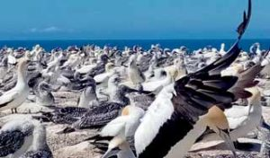new zealand holiday napier hawkes bay gannet colony self drive tours new zealand tour guides