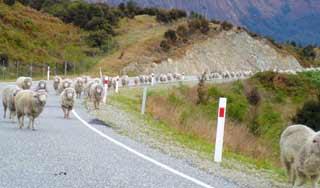 new zealand sheep self drive tours experience holidays new zealand tour operator