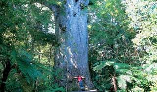 new zealand tours north giant kauri tree tane mahuta self drive tour new zealand nature luxury holiday