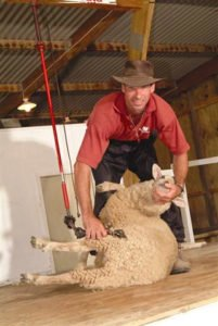 Auckland Day Trip Sheep Shearing New Zealand Sheep Farm Private Tour Guide German English Best Day Trips Sightseeing Auckland