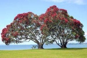 Auckland-Pohutokawa-weihnachtsbaum-neuseeland-reiseagentur-deutschsprachig-neuseeland-reisen-destination-management_320x240.jpg