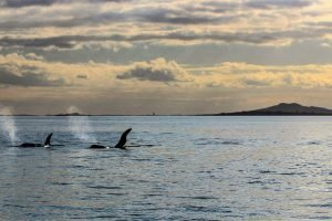 Auckland hauraki gukf oeca whale watch private tour guide dmc operator new zealand self drive