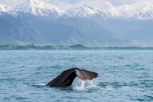 Kaikoura Whale Watching New Zealand Nature Tours self drive holiday travel new zealand tour operator ageny tour guides auckland round trip book tours specialist