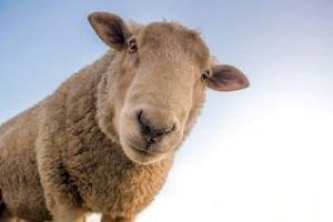 Schafe-neuseeland-wolle-neuseelandreisen-schafsschur-rundreisen-schafsfarm-neuseelandurlaub-buchen-neuseelandexperten3_320x240.jpg