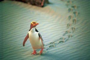 neuseeland-vogel-gelbaugenpingui-dunedin-neuseeland-naturreisen_320x240.jpg