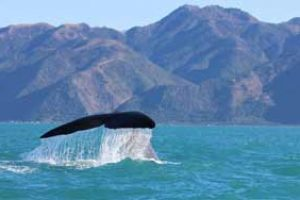 new zealand whales self drive tours whale watching kaikoura best new zealand self-drive tour guide luxury newzealand